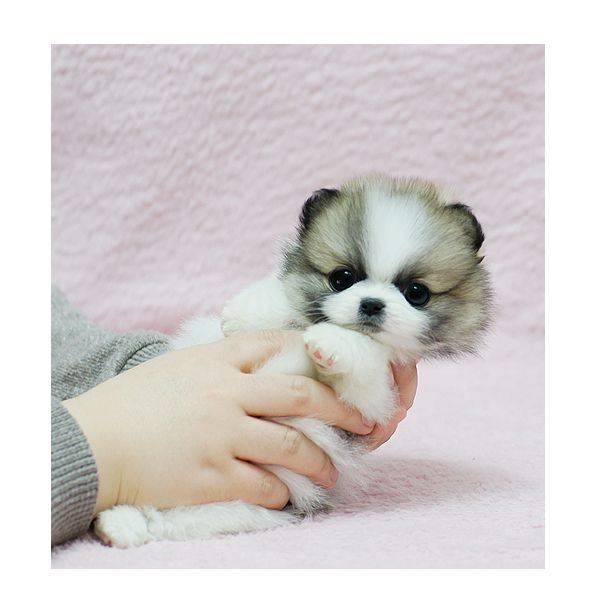 Adorable 12 weeks old Teacup Pomeranian puppies for adoption
