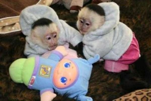 Capuchin Monkeys available for Sale