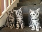 Gorgeous British Shorthair Kittens for sale