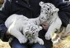 Tigers, Lions Cheetahs Cubs For Sale