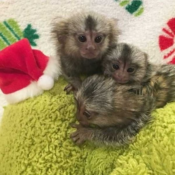 Lovely Finger Marmoset Monkeys available