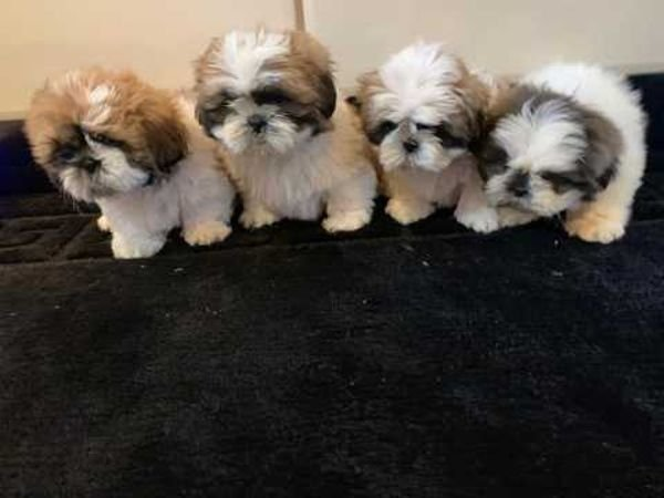 Nice shitzu puppies for sale
