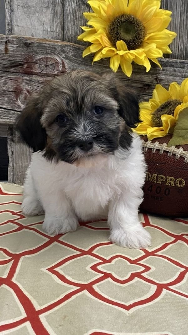 Fluffy Havanese Puppies Available