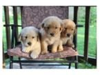 Cute Golden Retriever Puppies Available for sale