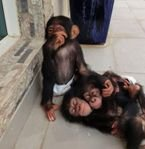 Lovely Chimpanzee Monkeys available
