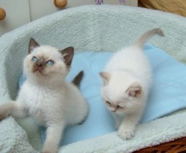 Cute Ragdoll kittens available for sale
