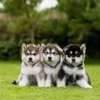 Alaskan Malamute pups ready for sale