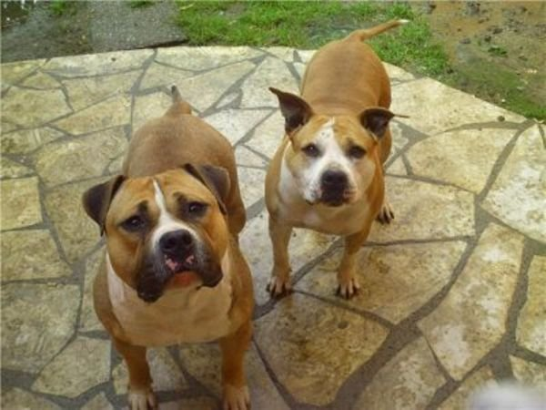 American Pitbull dog available for sale