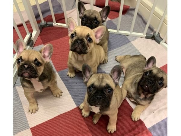 Cute French Bulldog Puppies for Sale