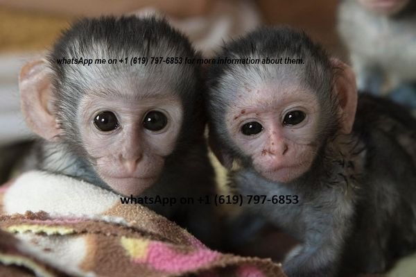 capuchin monkeys for sale and ready