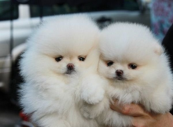 Beautiful Teacup Pomeranian puppies ready for adoption