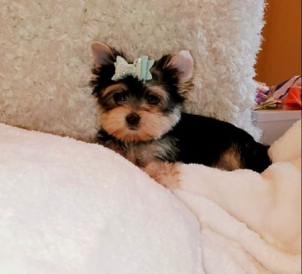 beautiful Yorkshire Terrier puppies available