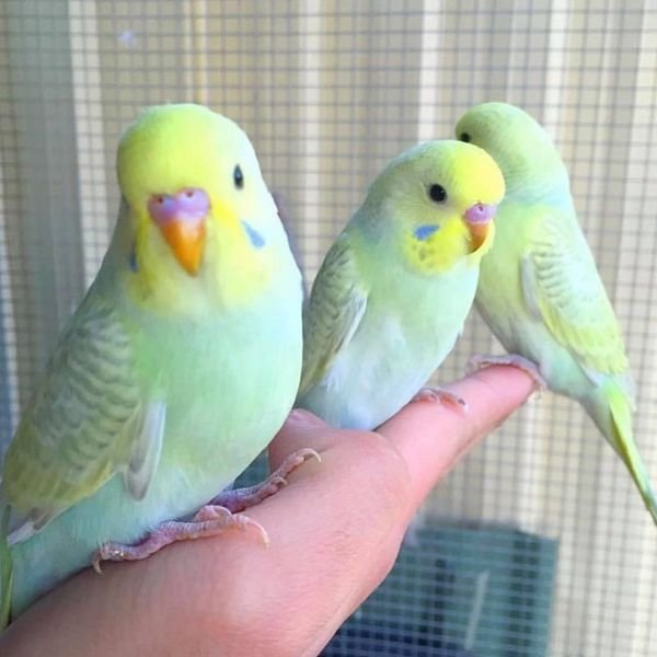 Lovebirds and several beautiful parrots for sale
