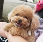 Val poodles puppies
