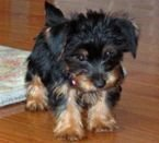 Purebreed Yorkie Puppies For Loving Home