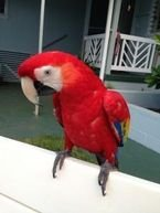 Scarlet Macaw parrots with Cage for Sale