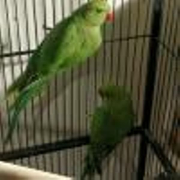 Quality Baby Indian Ringneck Parrots