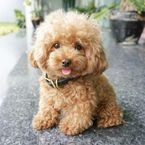 Gorgeous Toy Poodle Puppies For Sale .