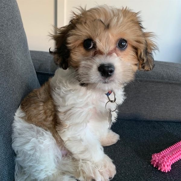 Sweetest Purebred Teacup cavachon Puppies for sale.