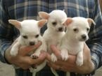 Cute Chihuahua puppies for sale