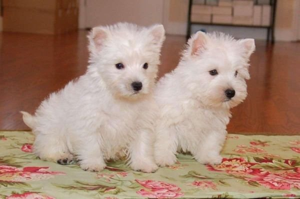 Western highland terrier puppies for sale