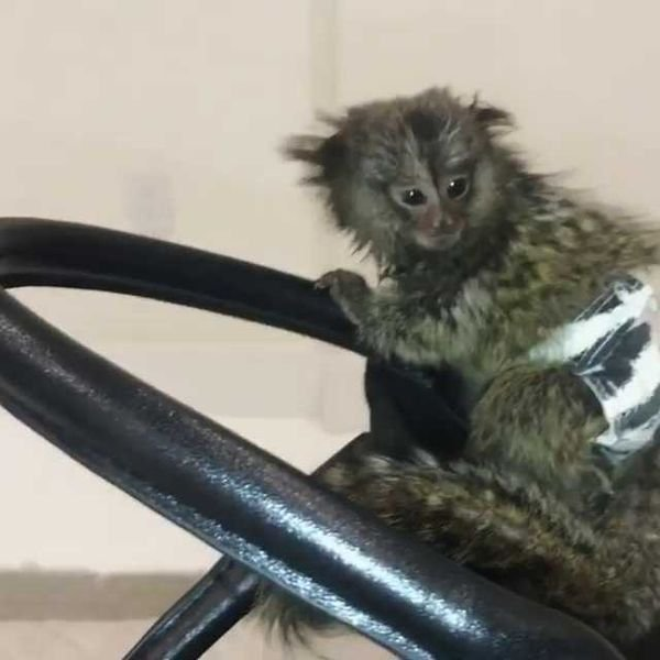 Trained  Marmoset  Monkeys for Sale/ whatsapp  055 226 3211