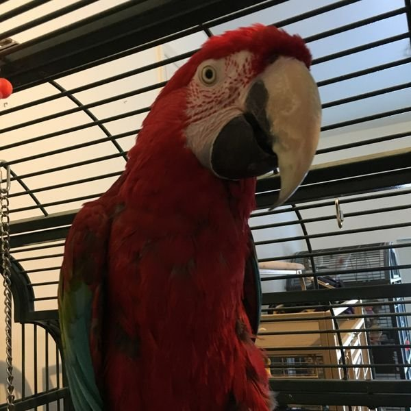 Baby greening Macaw