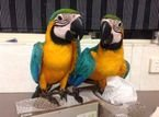 Healthy Blue and Gold Macaw Parrots