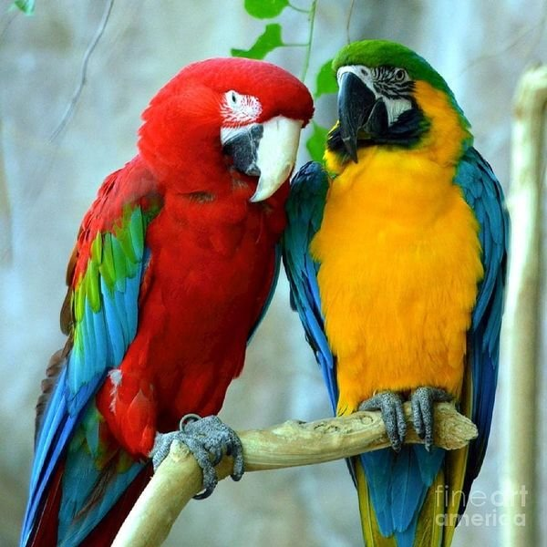 Macaw Parrots for adoption whatshapp +971504185305