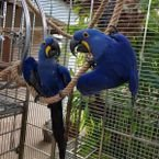 Tamed Hyacinth Macaw Parrots available for sale