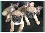 Lovely  French Bulldog Puppies for Sale