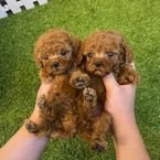 Poodle teacup puppy for rehoming.....'