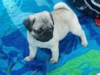 Pedigree Pug Puppies for sale