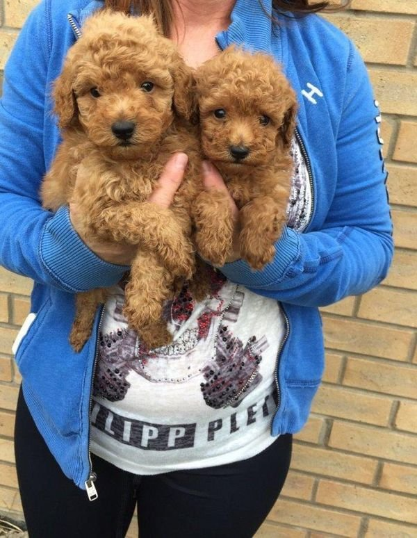 Potty Trained Male and female Toy Poodle Puppies for sale
