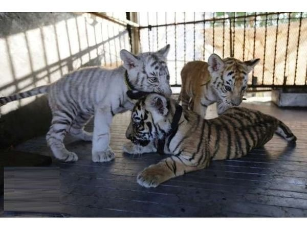 Lovely Tigers, Cheetah Cubs For Sale