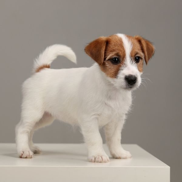 Adorable Jack Russell Puppies
