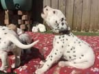 Dalmatian puppies now ready for sale
