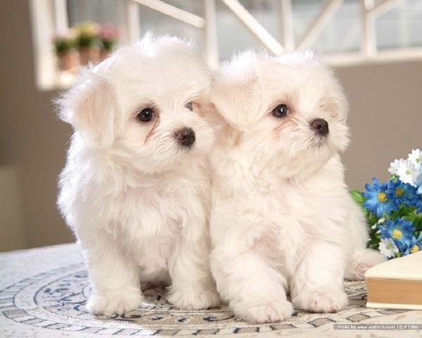 Purebred Maltese Puppies ready for sale