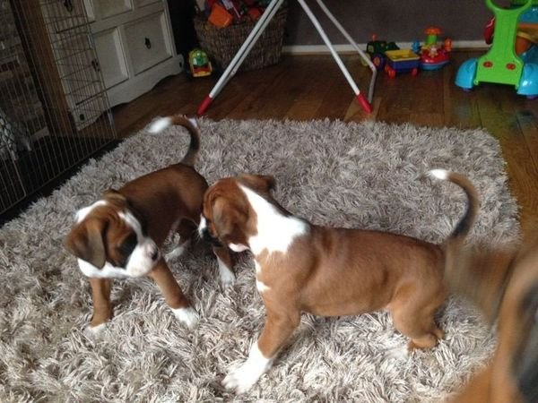 Beautiful Boxer puppies