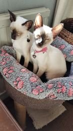 Lovely Siamese kittens for sale