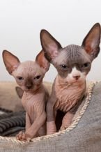 Cute Sphynx Kittens For Sale