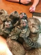 Lovely Finger Marmoset Monkeys