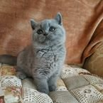 "British shorthair kittens ""ALL RESERVED"""