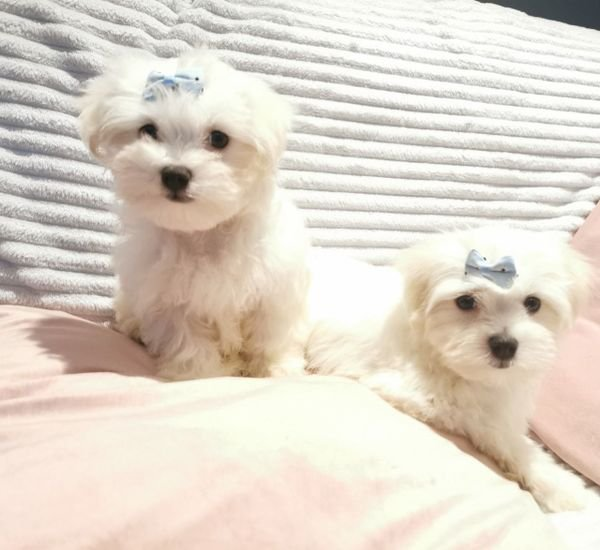 Beautiful Pure Maltese Puppies