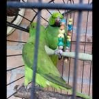 Gorgeous African parakeet ready for sale