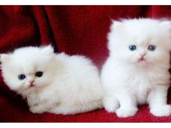 Persian Kittens Available for sale