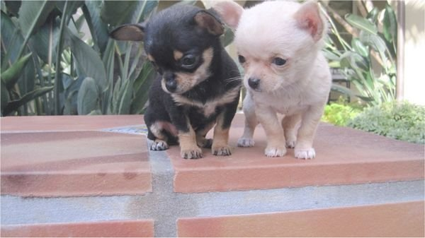 Teacup Chihuahua puppies for sale whatsAap +971.5560.75.263