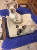 Siamese kittens for sale