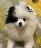 Pom Pomeranian puppies for adoption