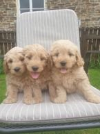 Healthy Goldendoodle Puppies For sale